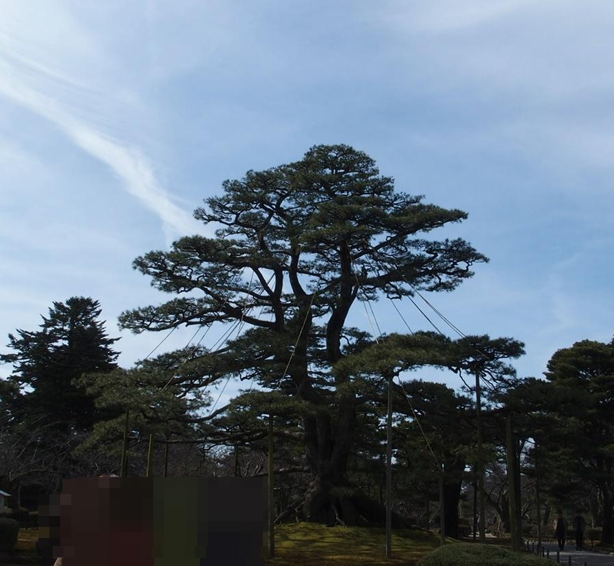 金沢の兼六園で待ち受けに人気の値上げの松