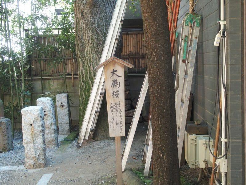 田無神社の大鵬桜