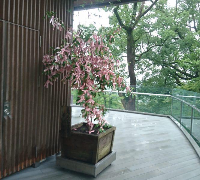 竈門神社の結びの木