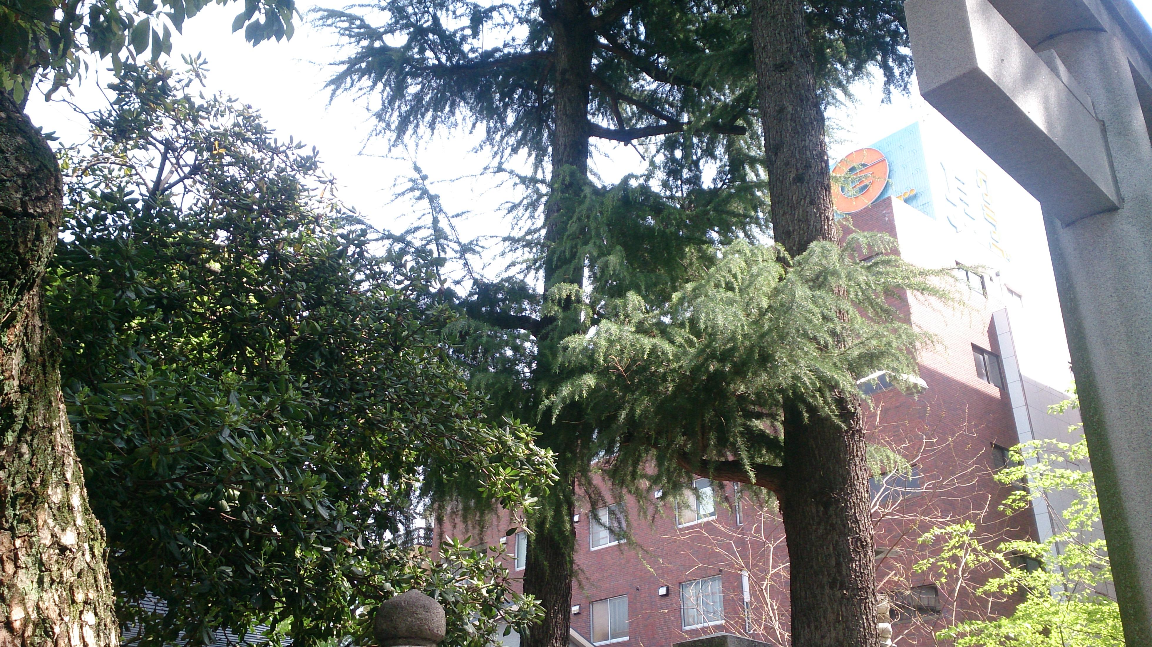 生田神社の松尾神社の境内にある縁結びの杉の木