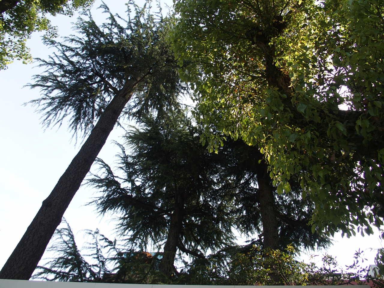 生田神社の境内にある松尾神社の境内には縁結びの杉が鎮座しています