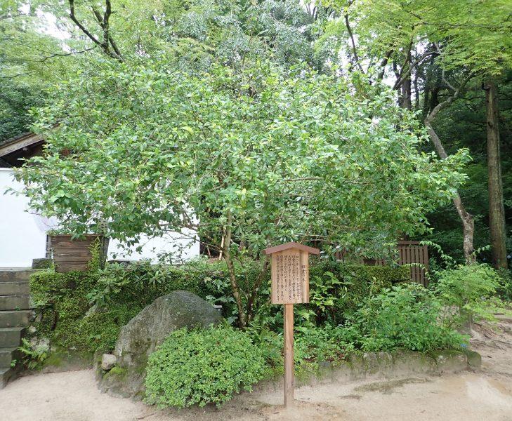 竈門神社の境内にある良縁を叶える招霊の木