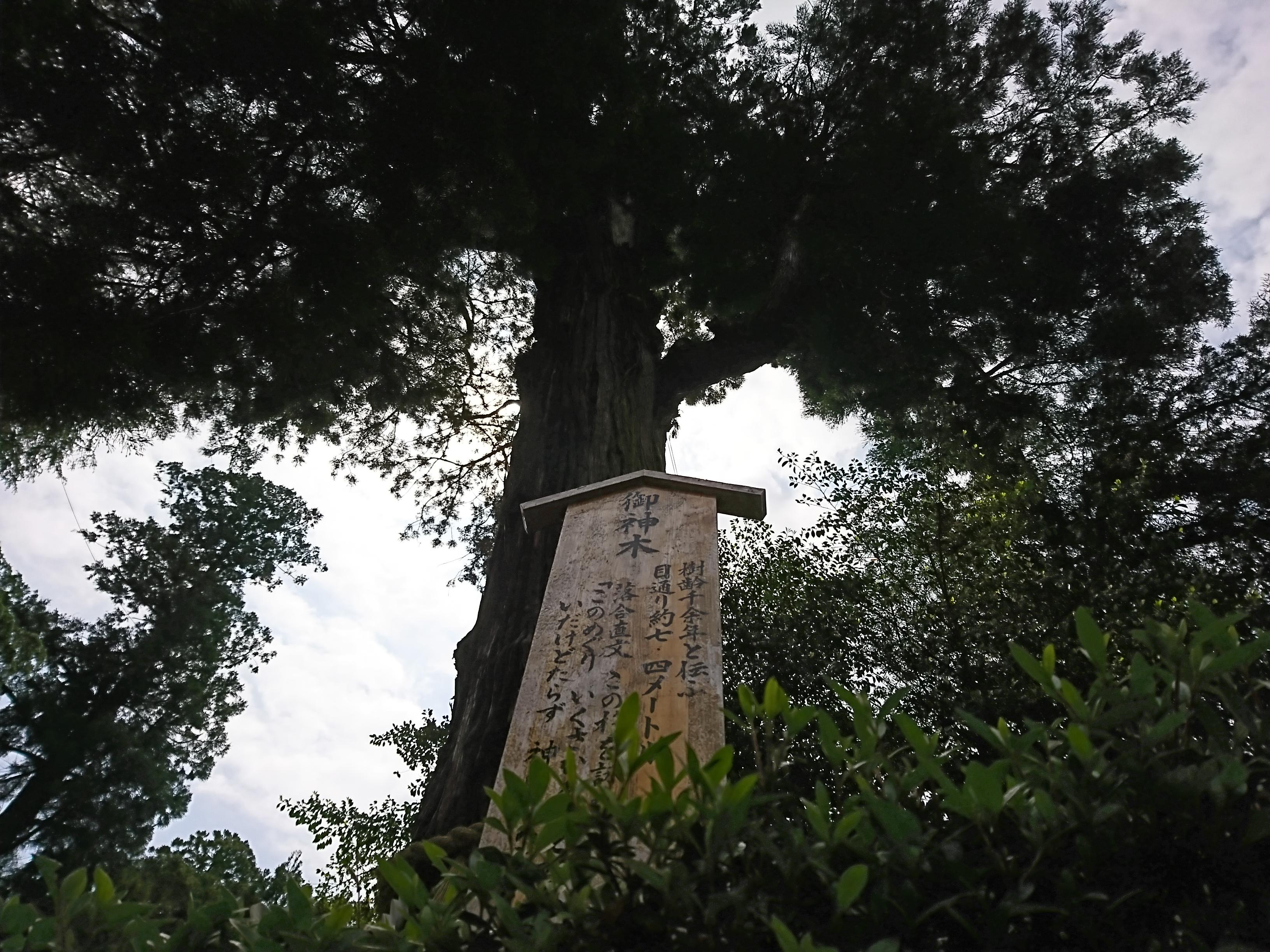 香取神宮の御神木