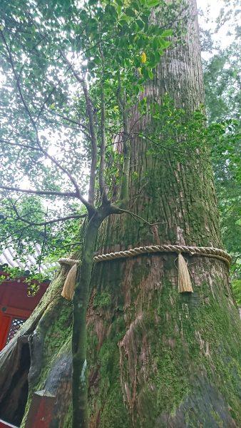 箱根神社の安産杉