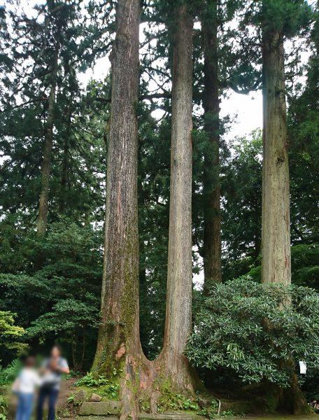 箱根神社の夫婦杉