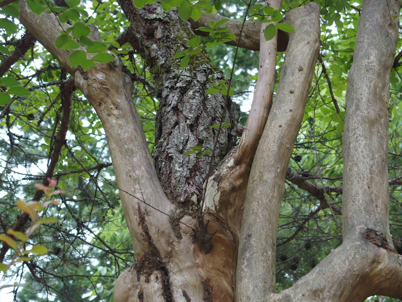 瑠璃光寺には縁結びのさるすべりの木があります