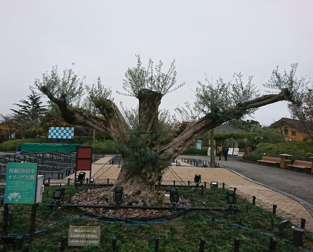なばなの里にある樹齢1000年のオリーブの木