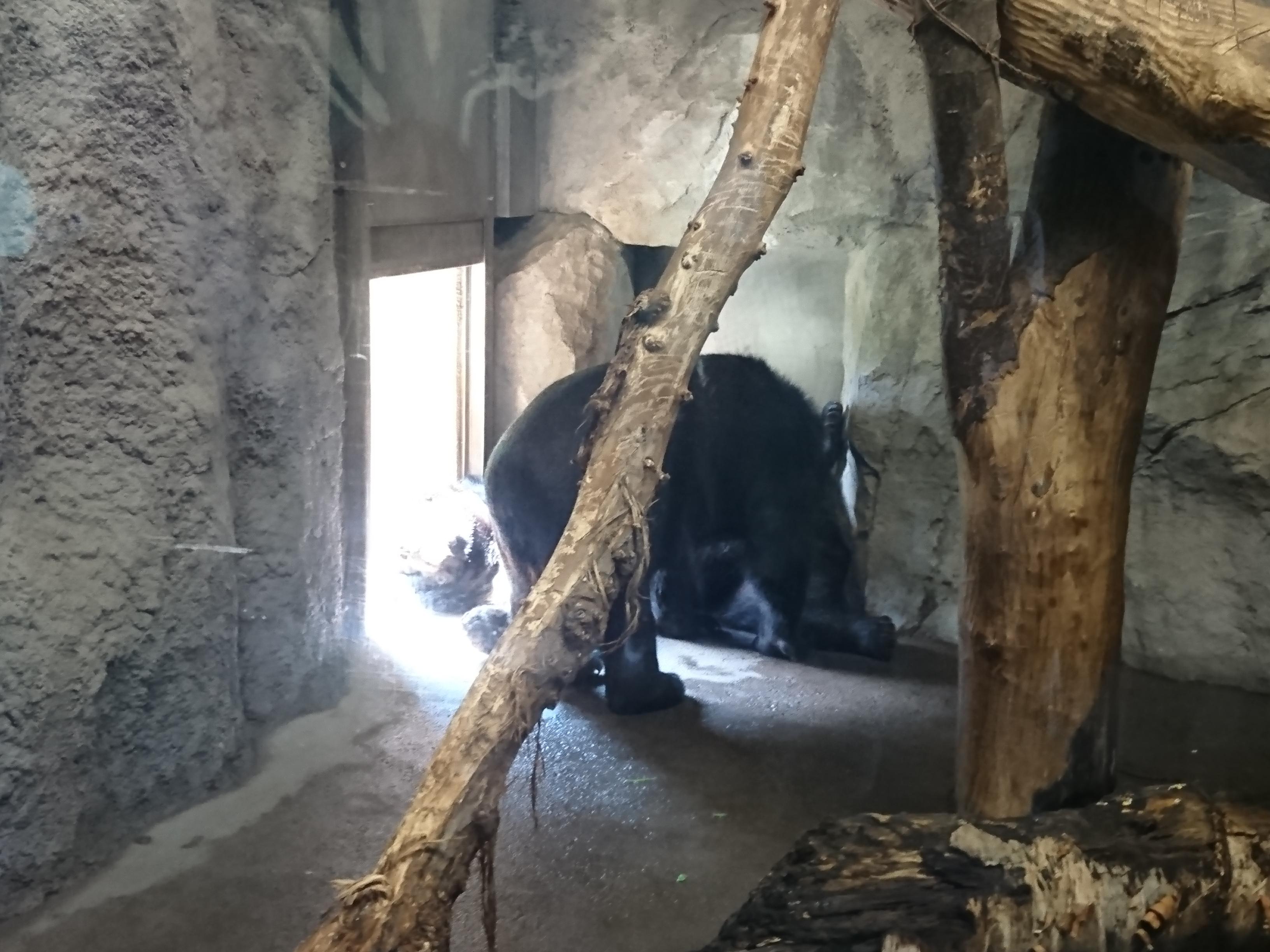 円山動物園のヒマラヤグマ