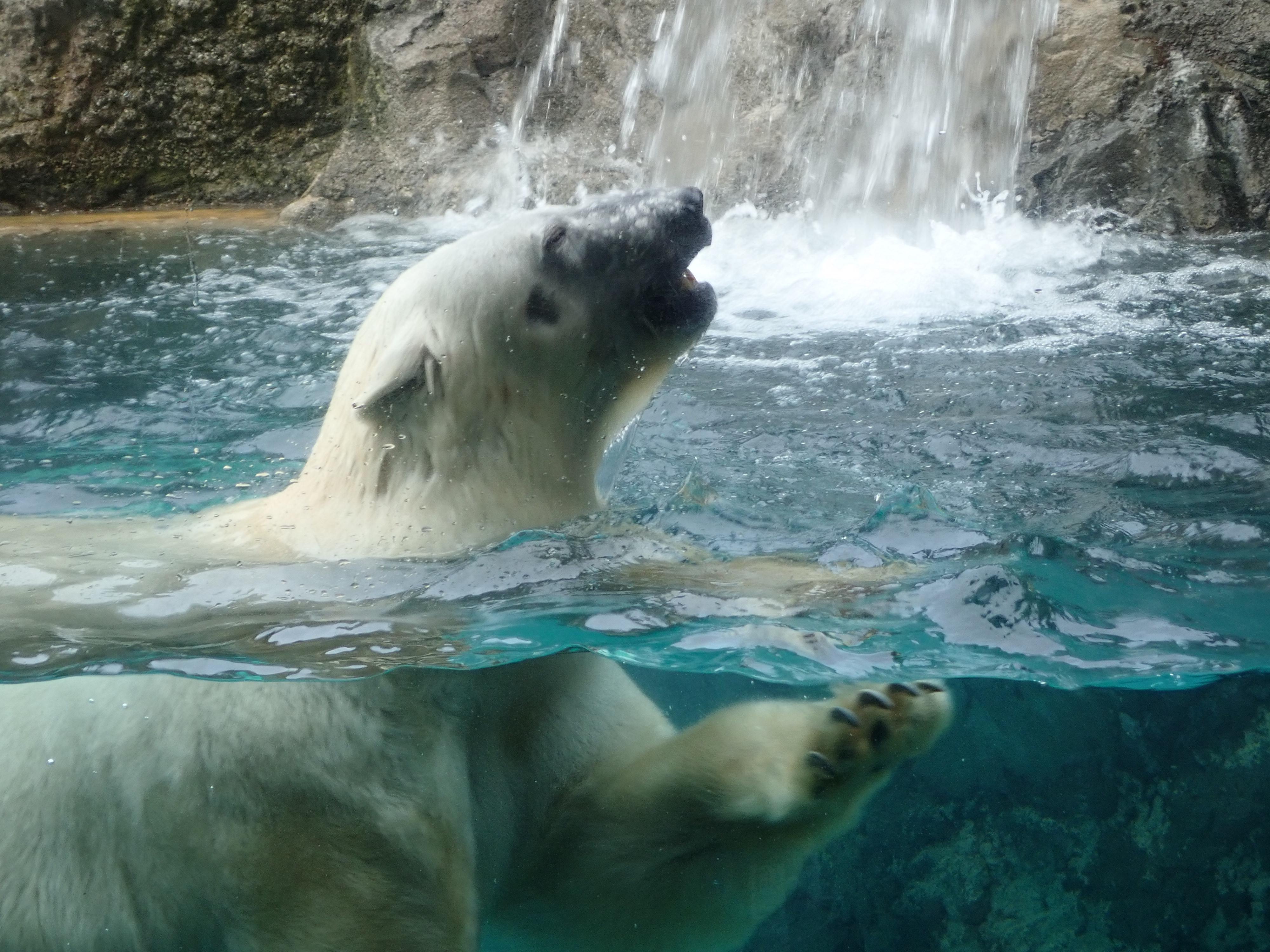 旭山動物園のホッキョクグマ