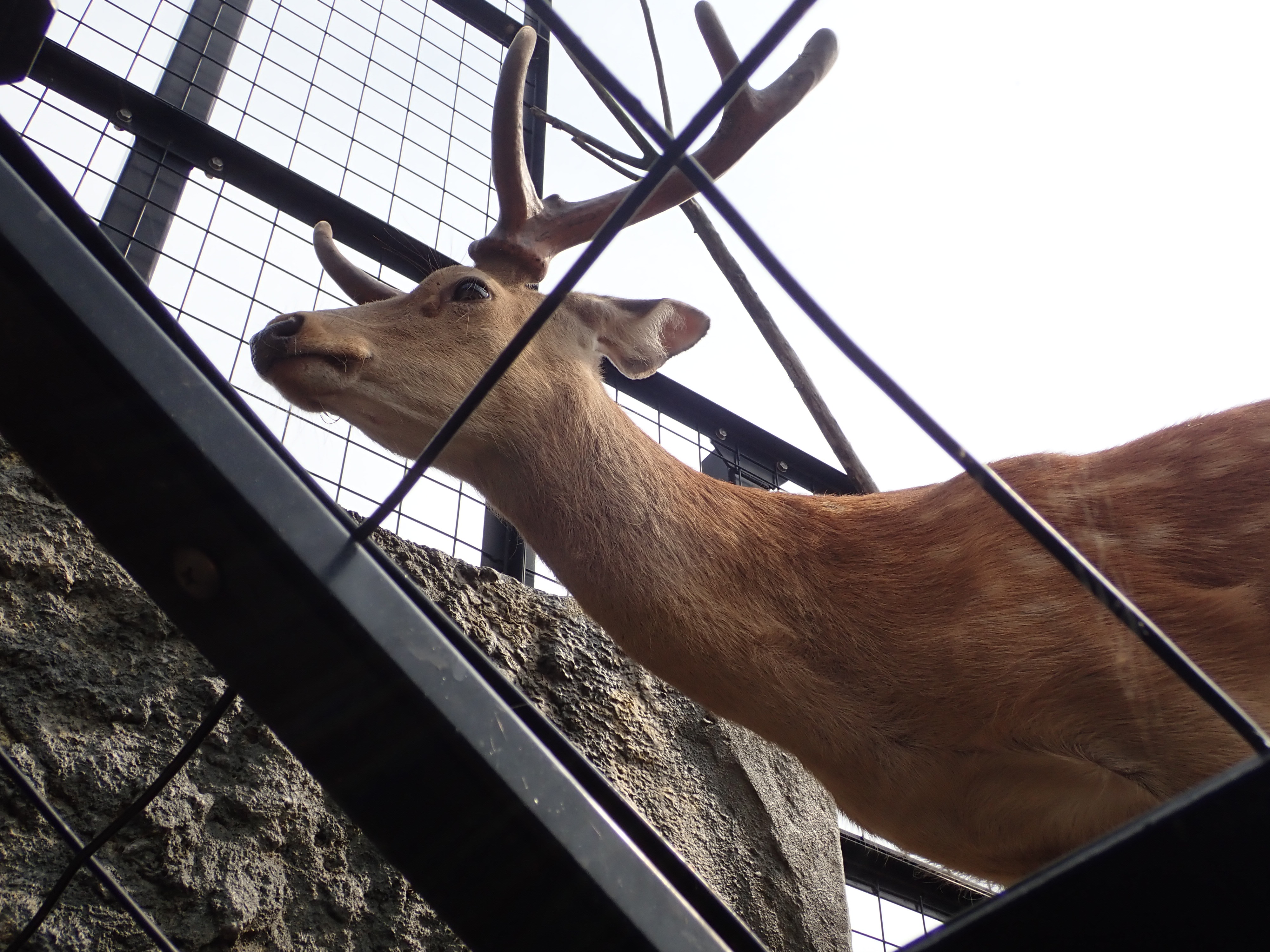 旭山動物園のエゾジカ