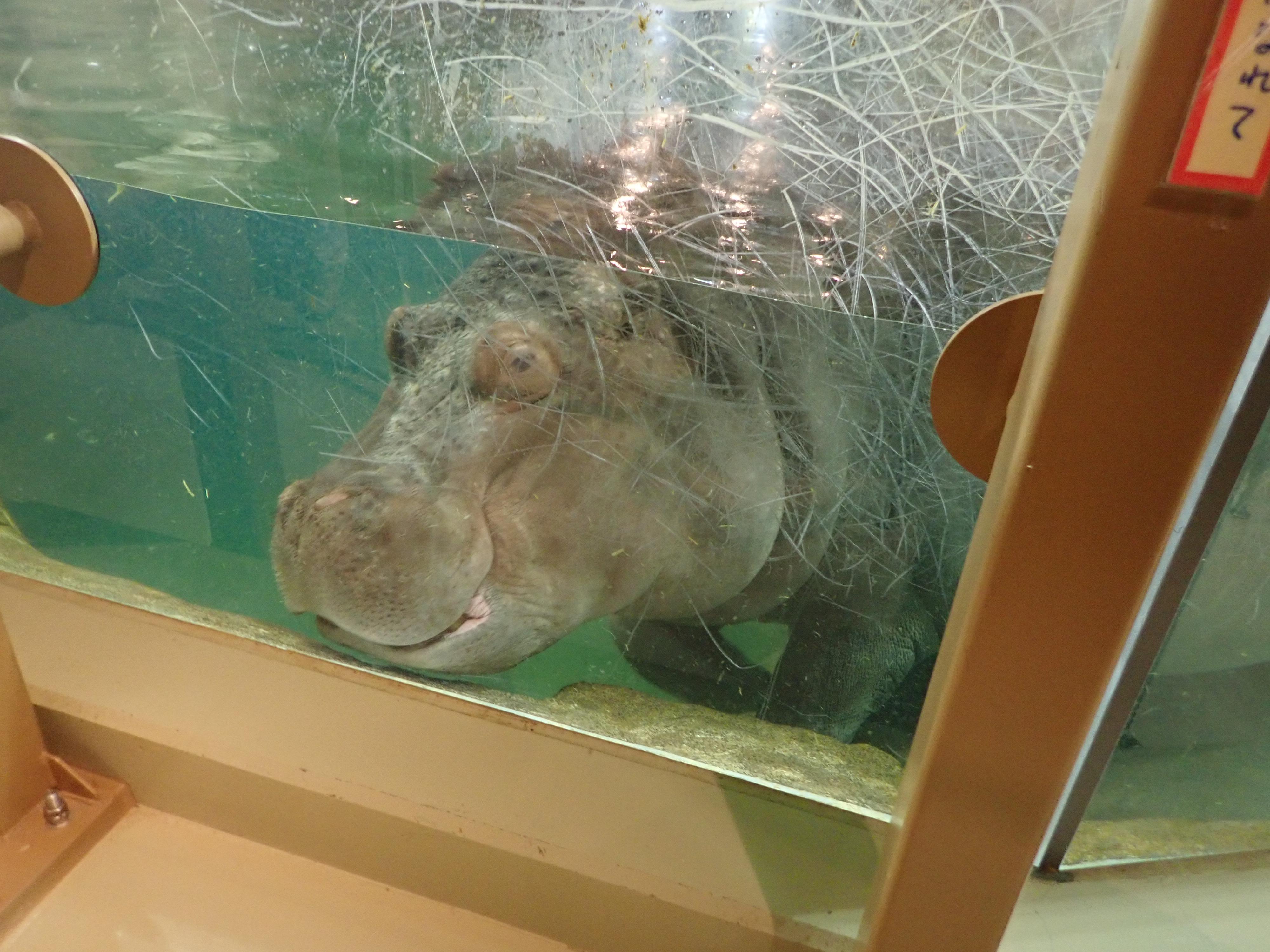 朝阿桧山動物園のカバの水槽