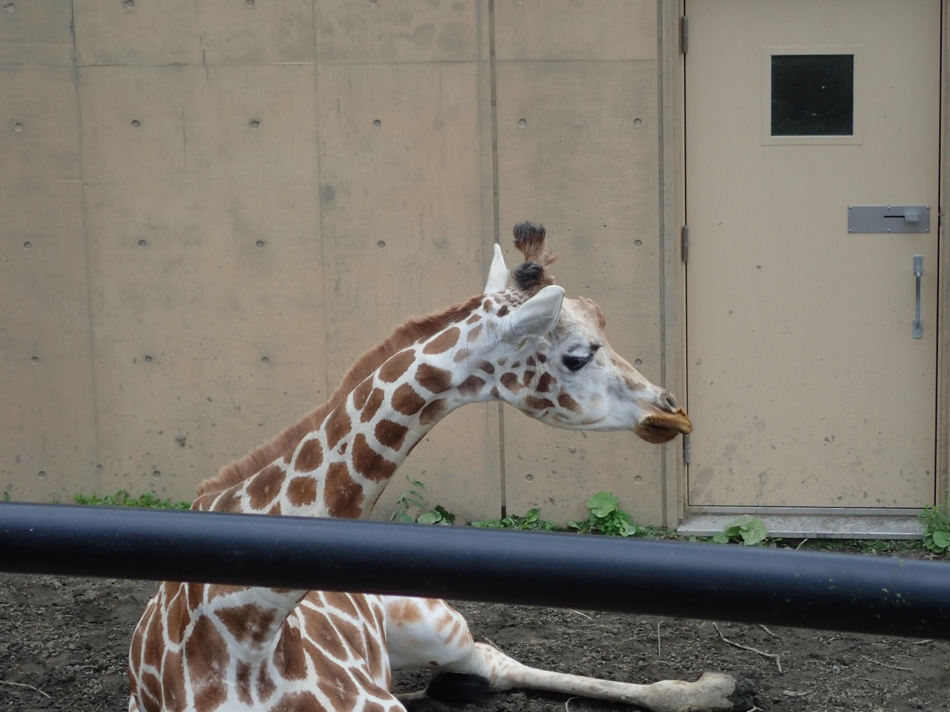 旭山動物園のキリン