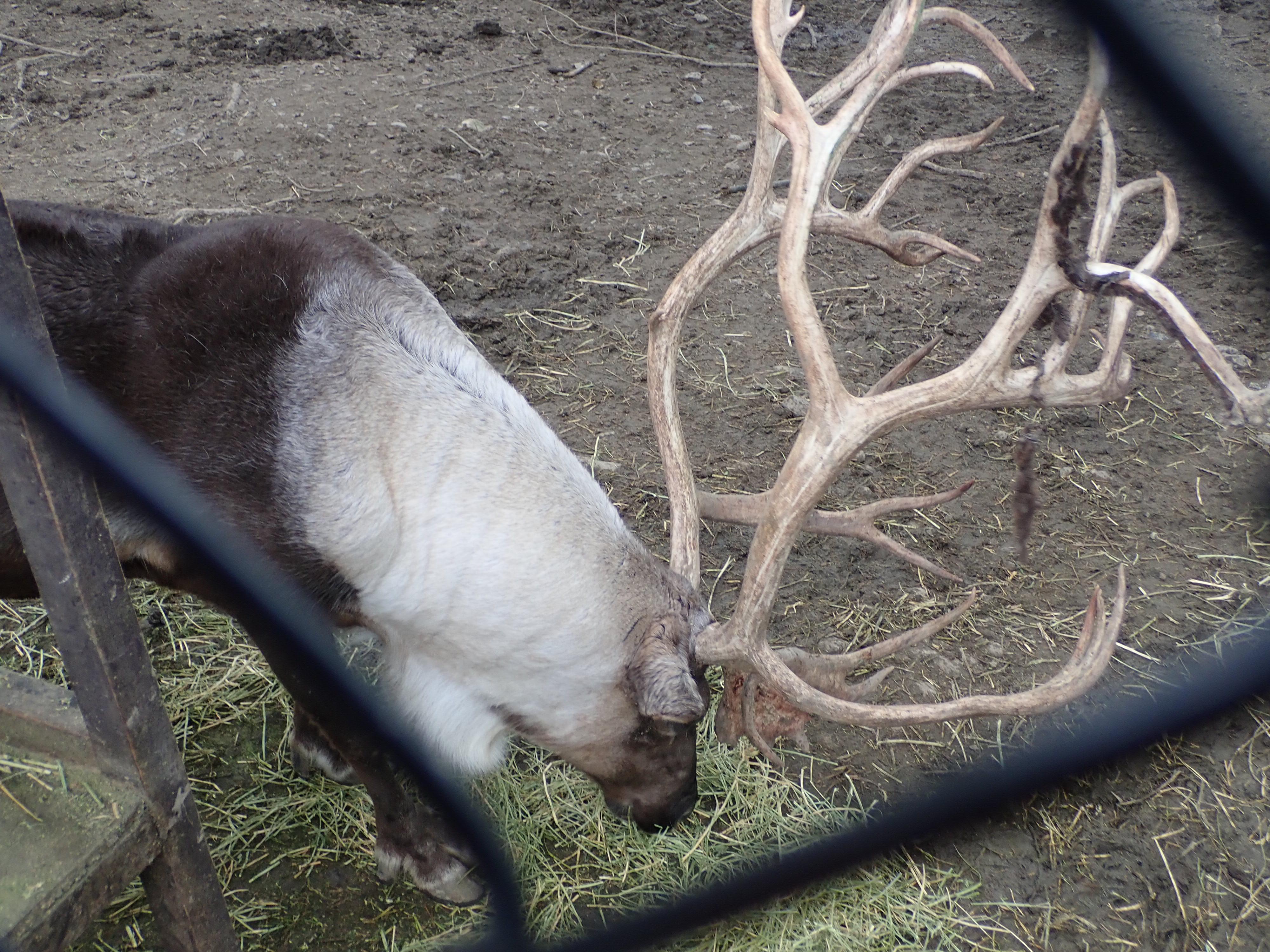 旭山動物園のトナカイ
