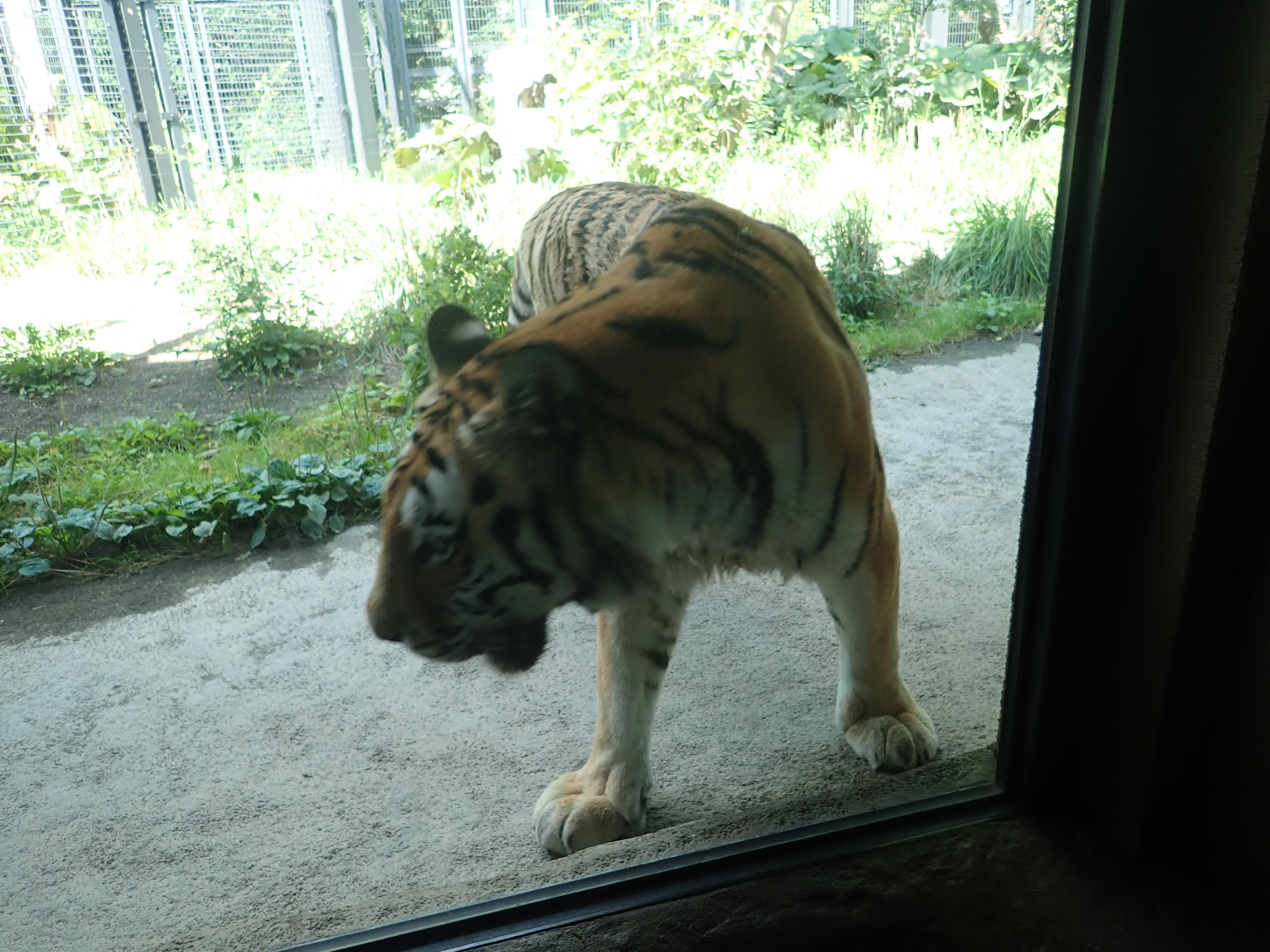 円山動物園のアムールトラ