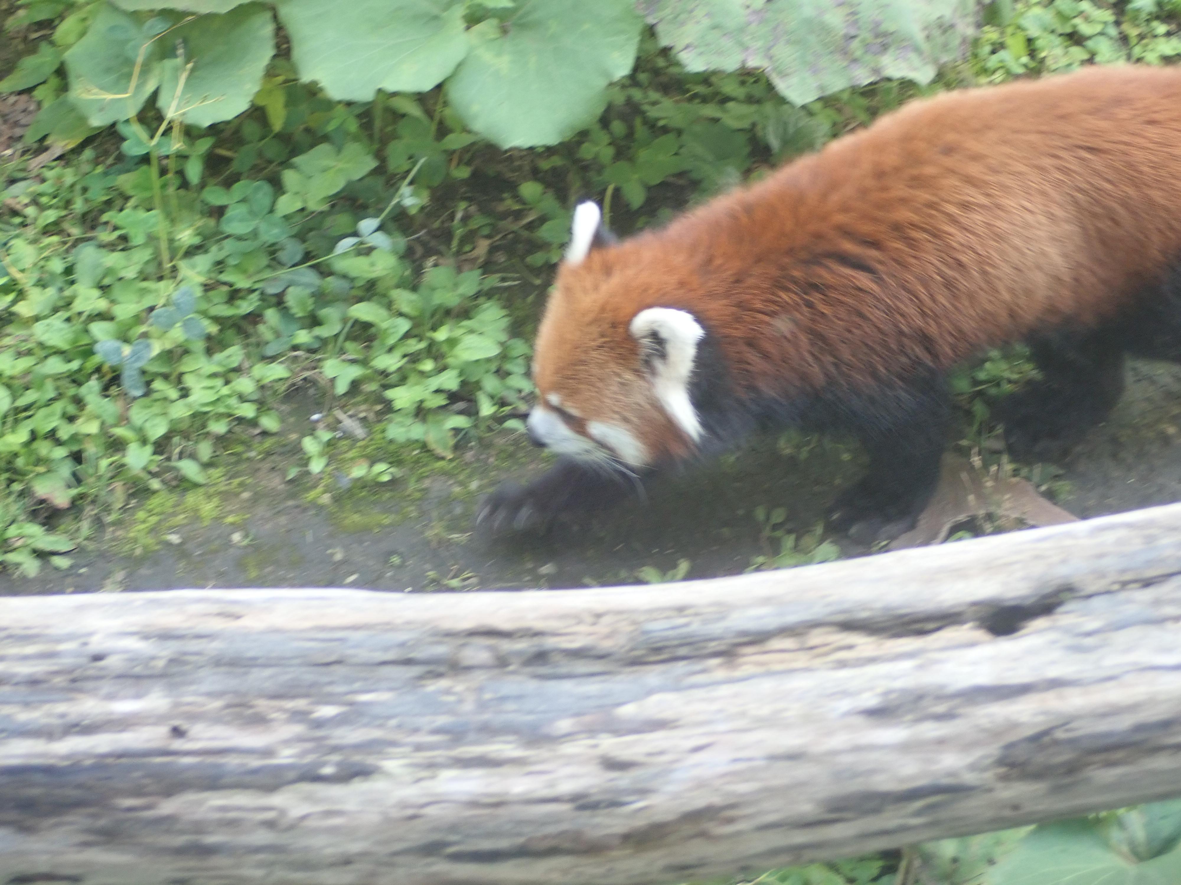 円山動物園のシセンレッサーパンダ