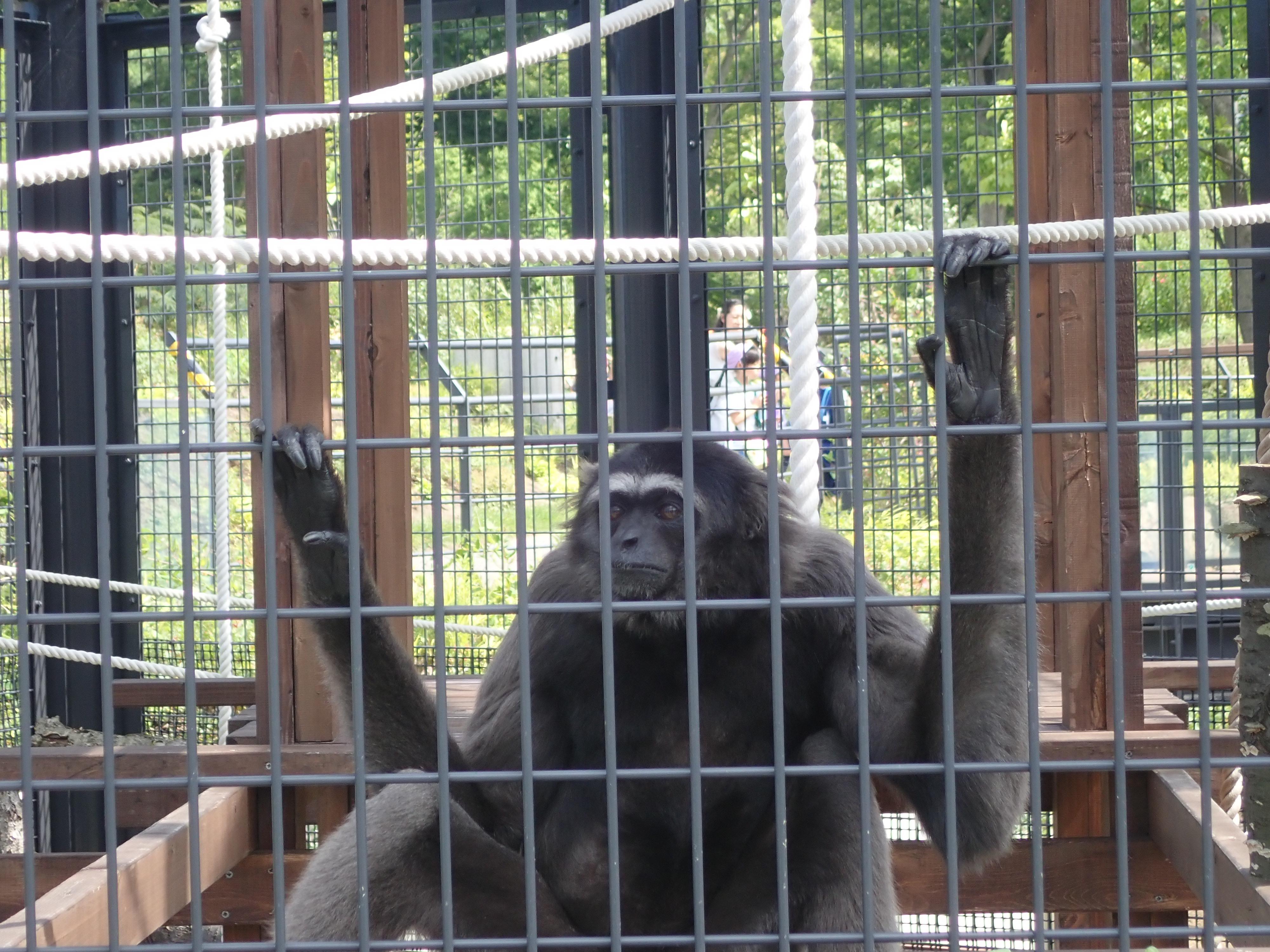 円山動物園のシロテナガザル