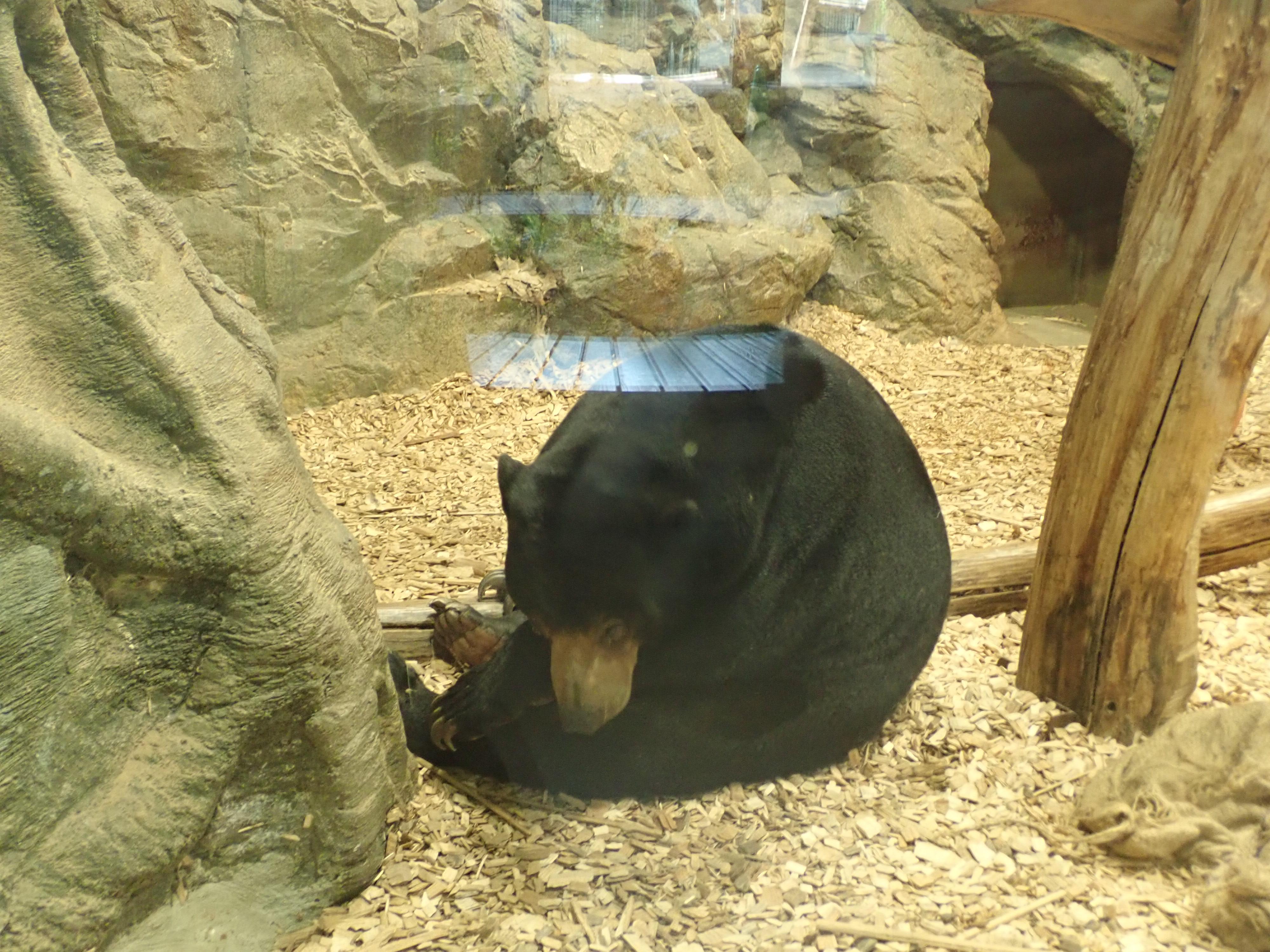 円山動物園のマレーグマ