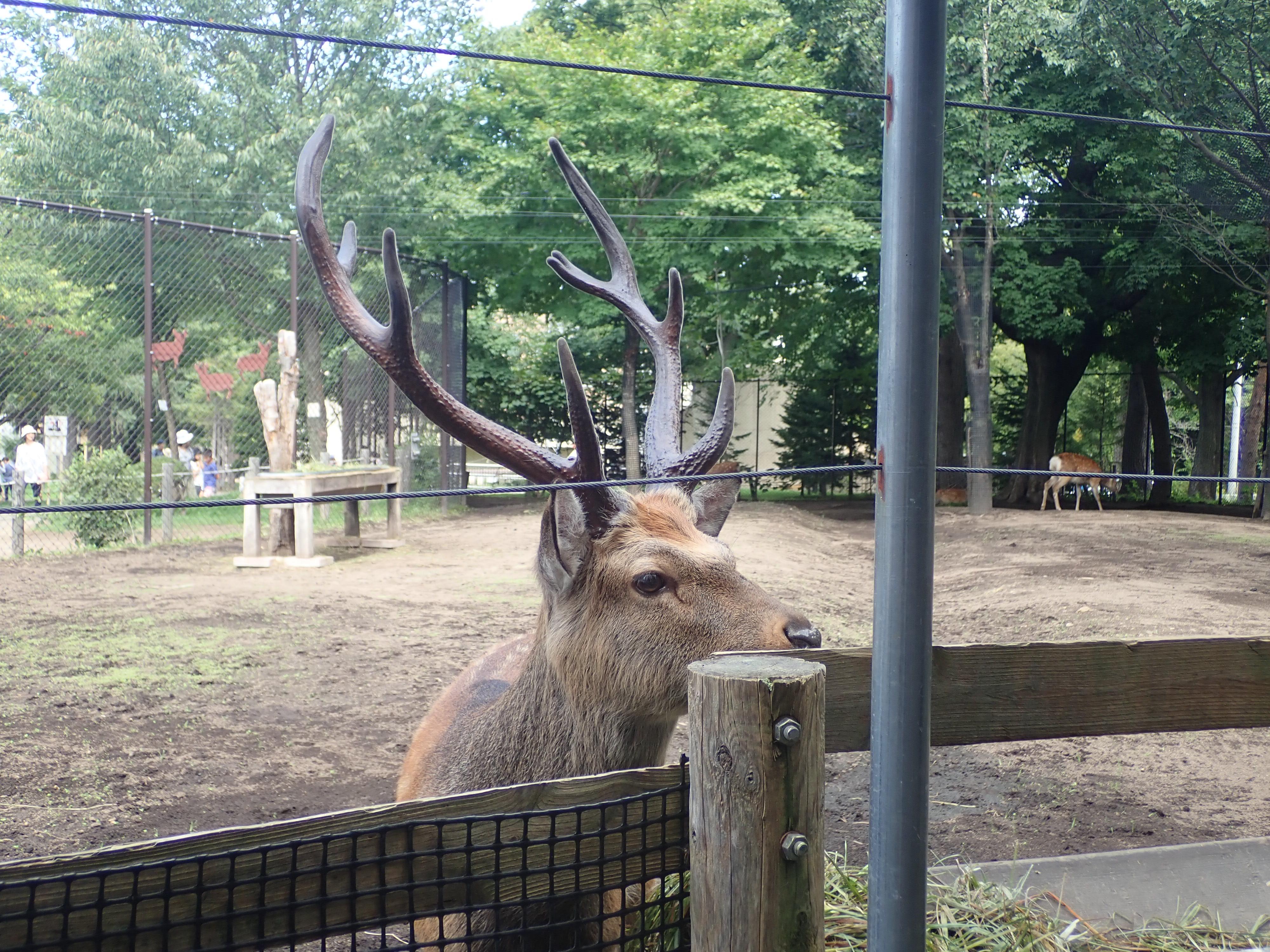 円山動物園のエゾジカ