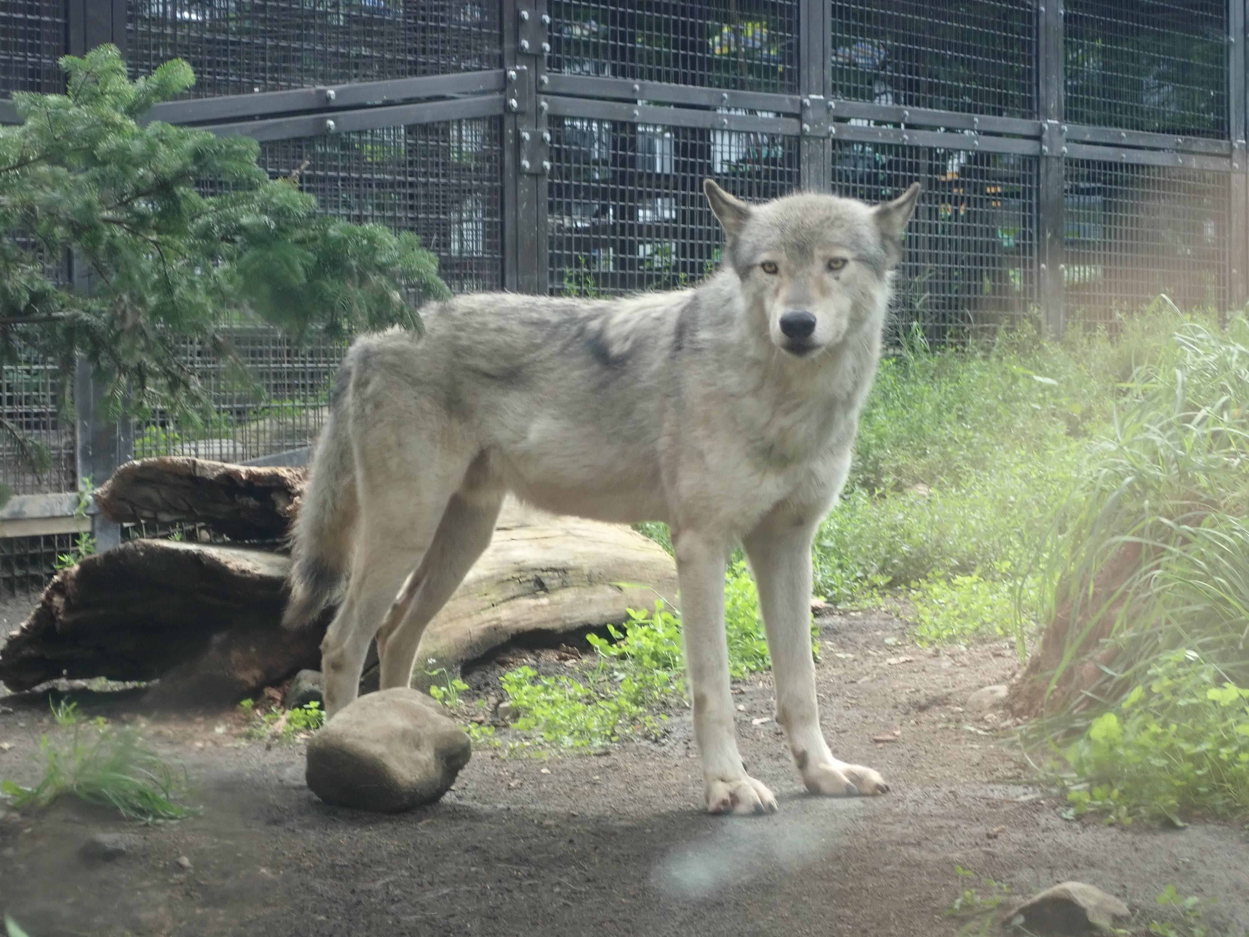 円山動物園のオオカミ