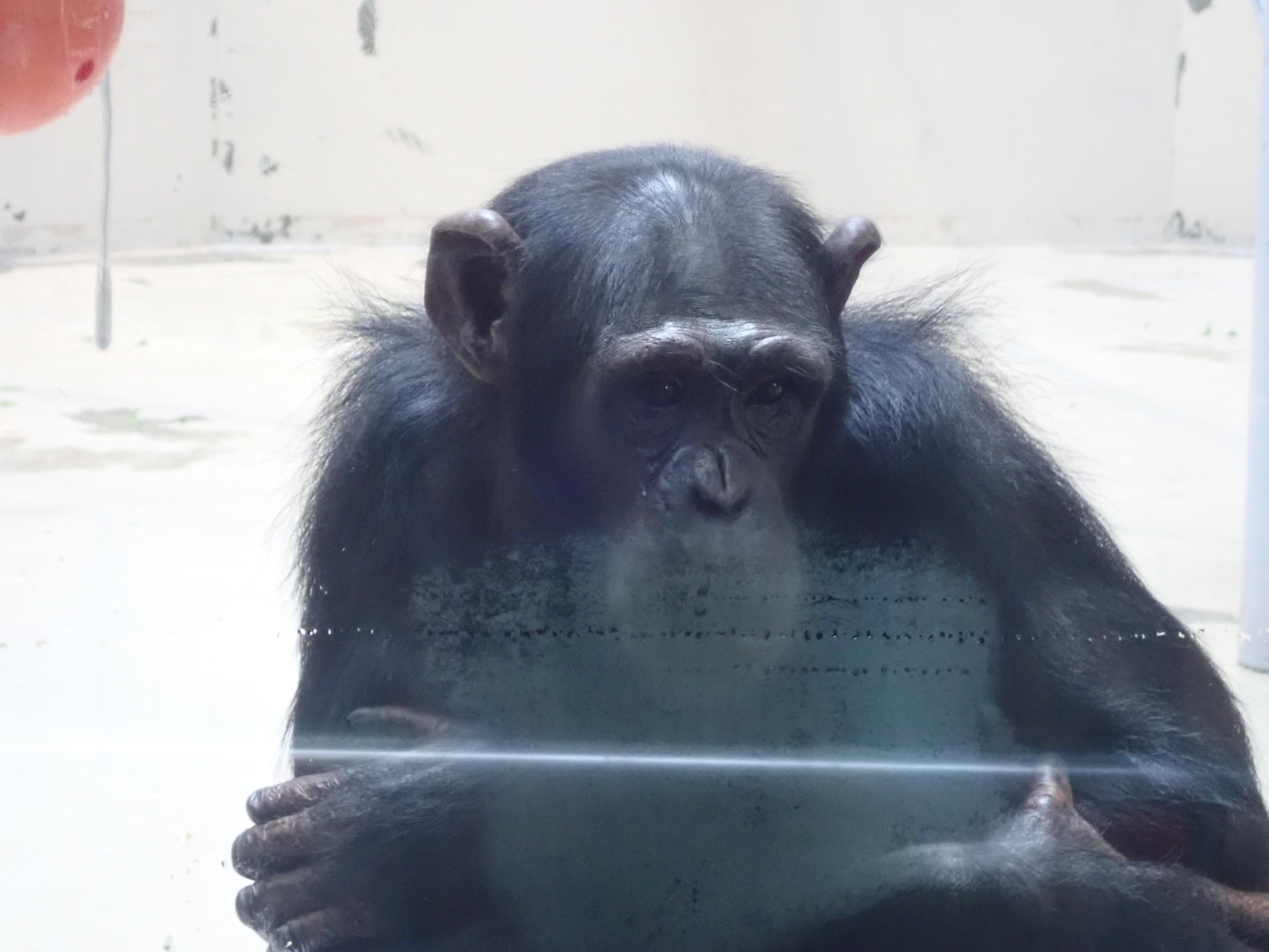 円山動物園チンパンジー館にいるチンパンジー