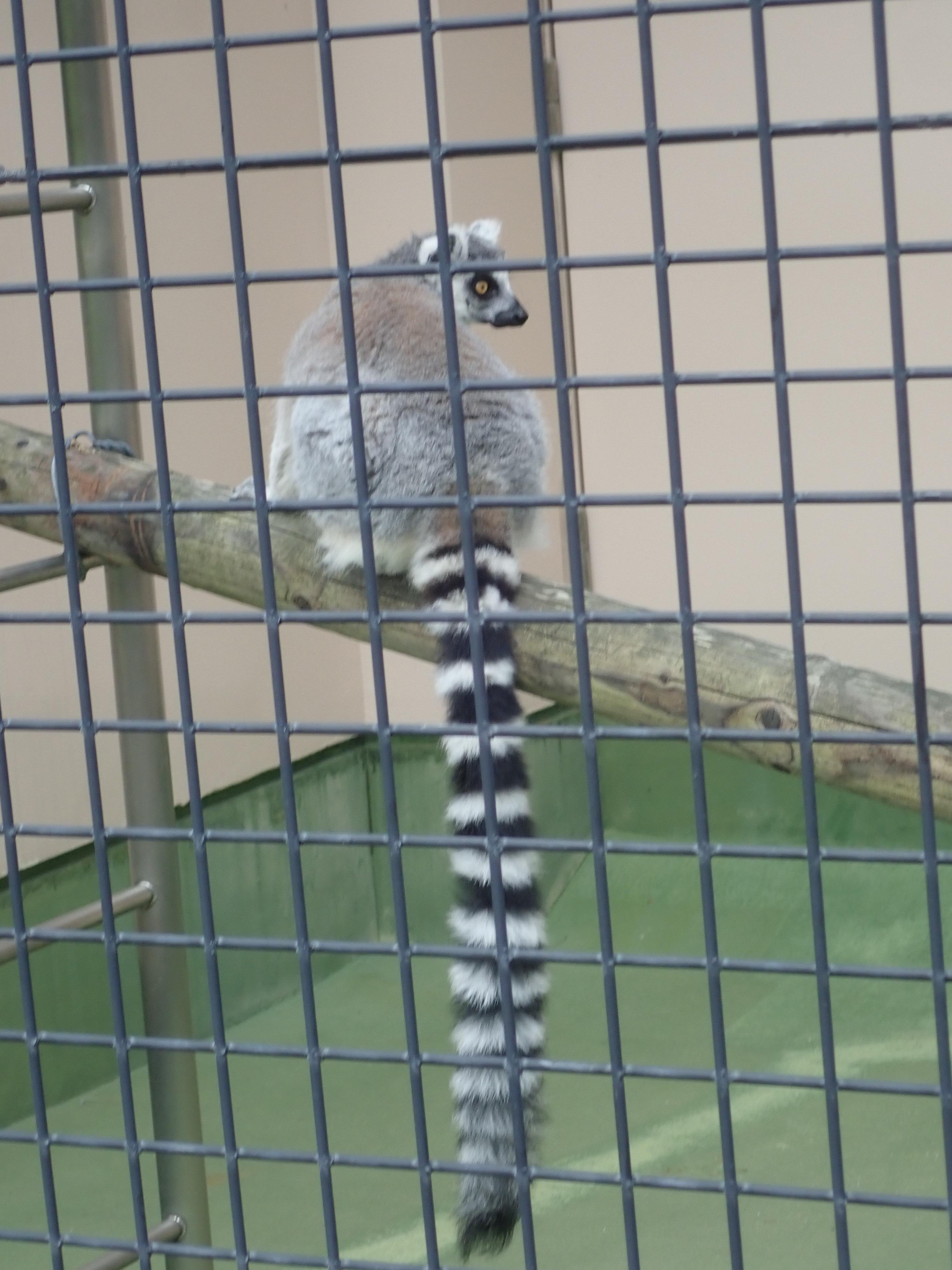 円山動物園のモンキーハウスにいたワオキツネザル