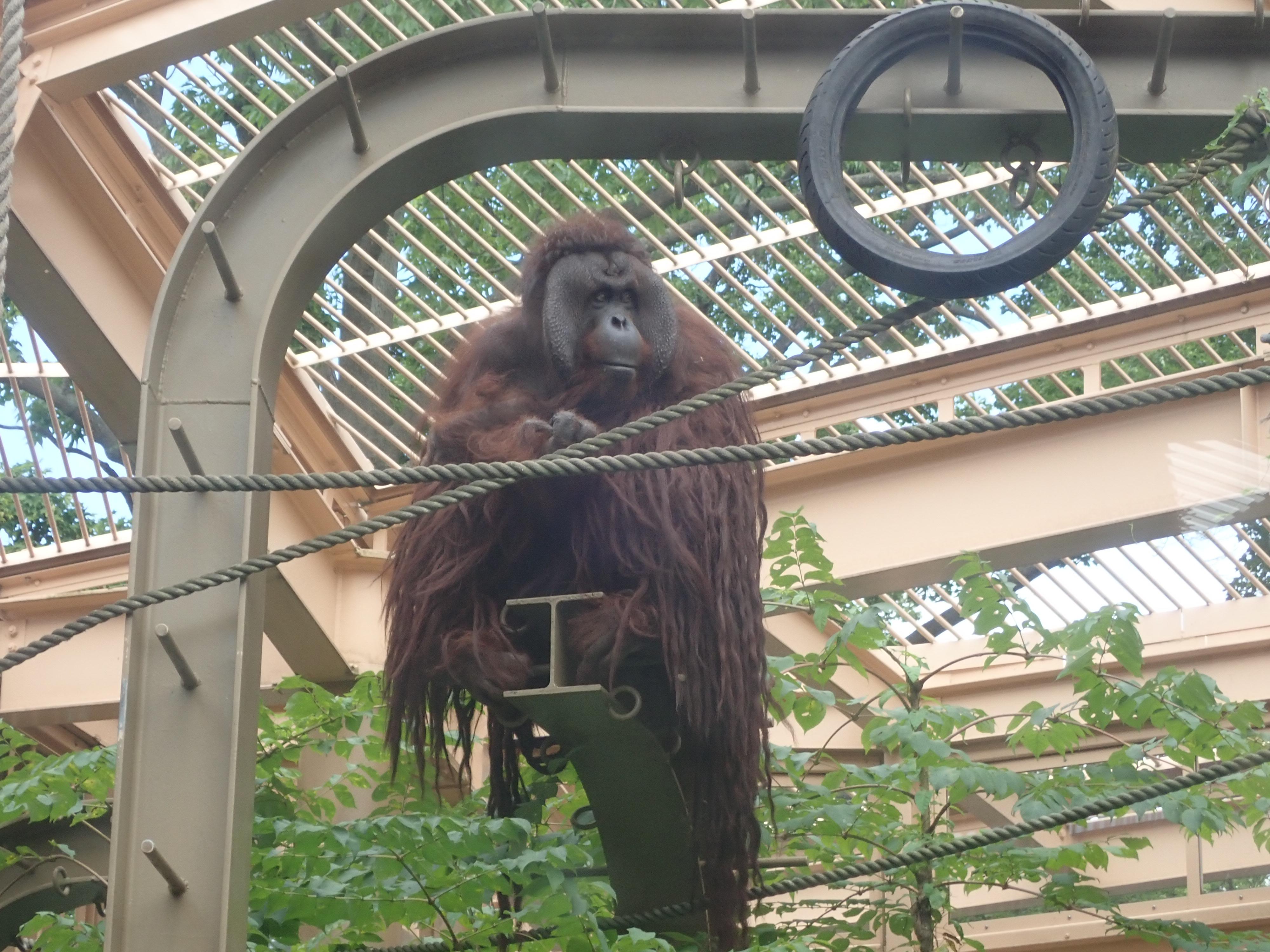 円山動物園のオランウータン