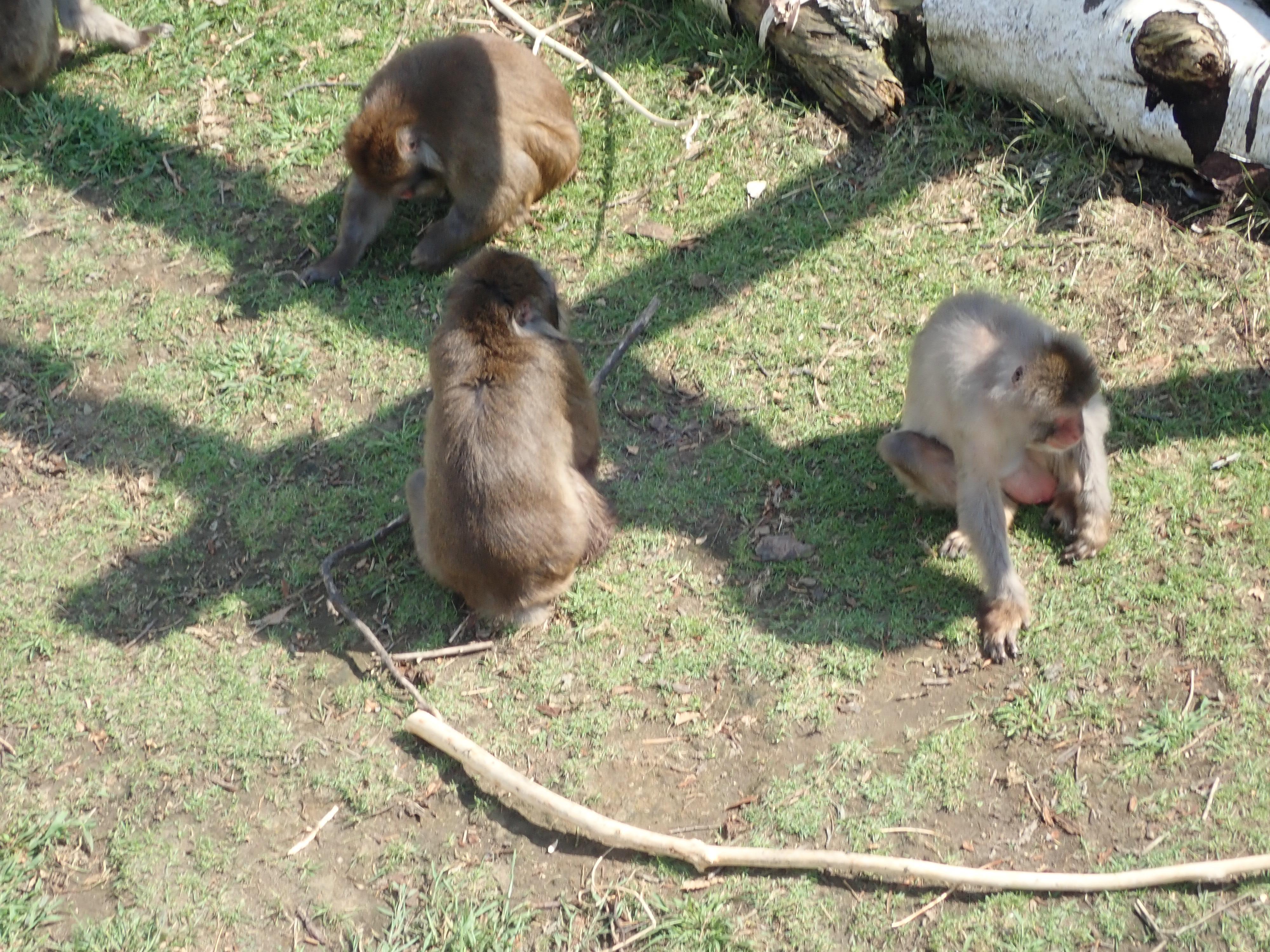 円山動物園のサル山にいるニホンザル