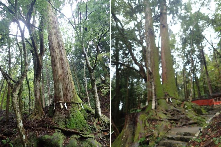 貴船神社の中宮・結社の隣にある縁結びのご利益で有名な相生の木