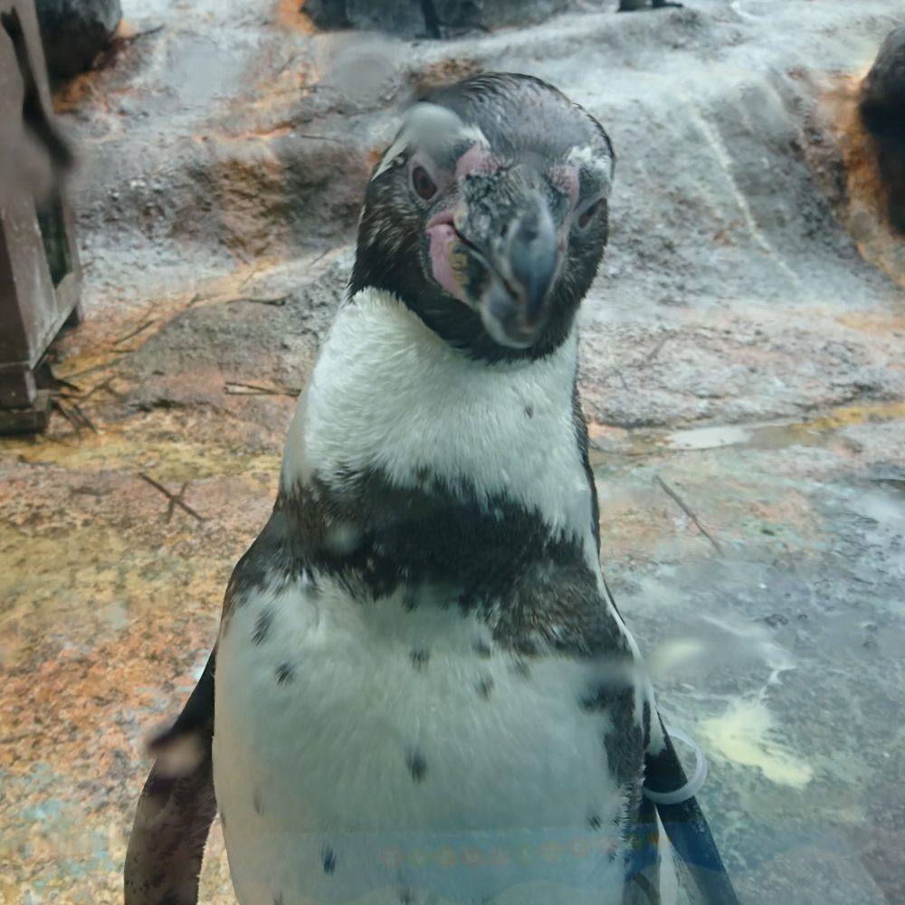 鳥羽水族館のペンギン