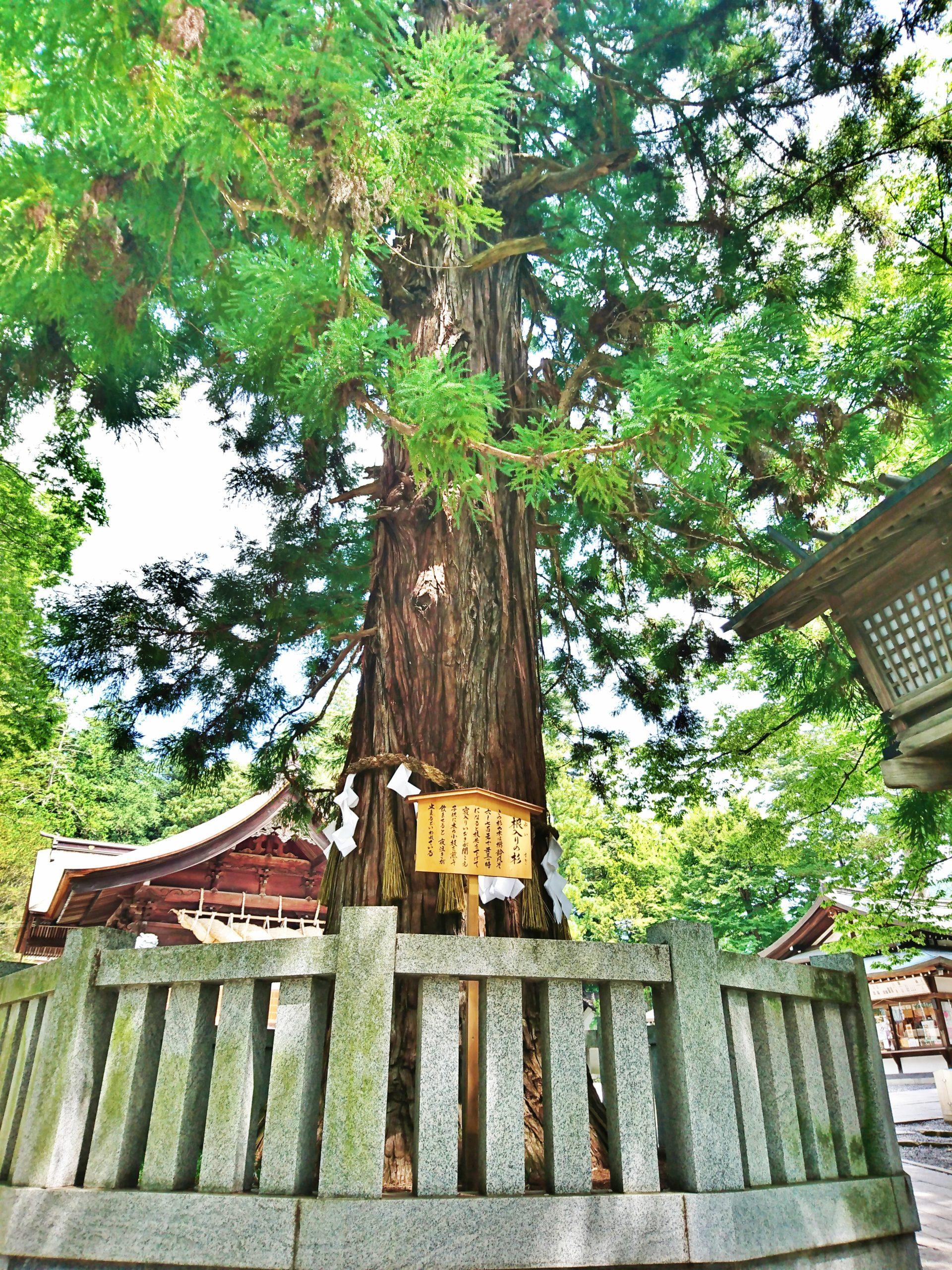 諏訪大社下社秋宮にある寝入りの杉