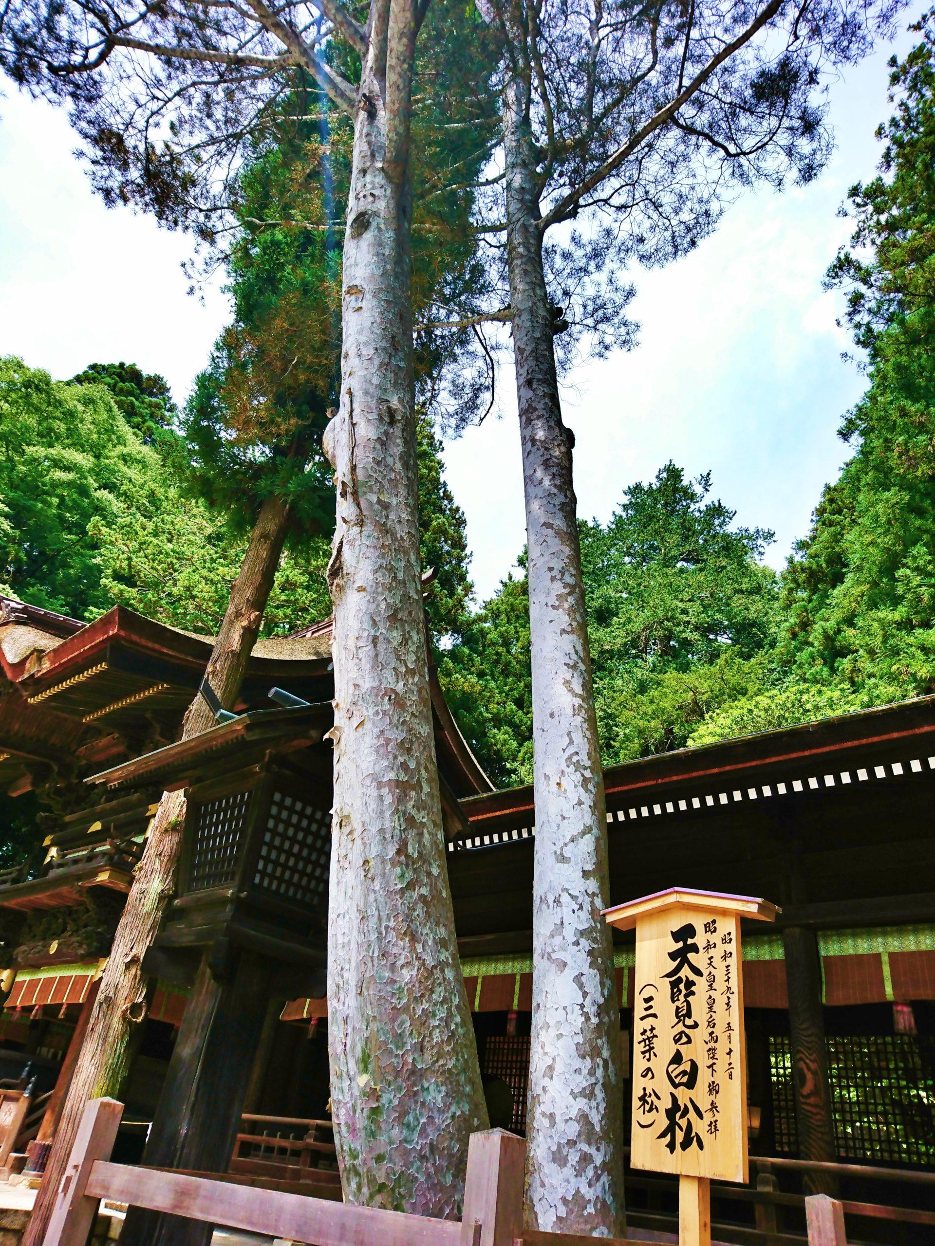諏訪大社下社秋宮の天覧の白松